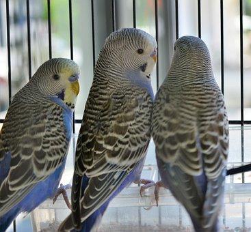 Parakeet, Pet, Bird Cage, Birds, Budgerigar, Animals