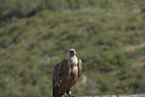 Vulture, Bird, Bird Of Prey, Wild Animal, Wildlife