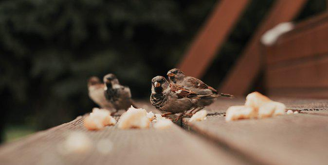 House Sparrow, Birds, Small Birds, Animal, Avian