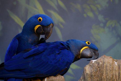 Hyacinth Macaw, Blue Parrot, Birds, Avian, Parrot