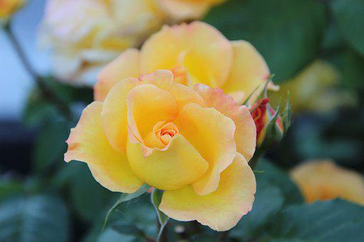 Rose, Yellow Rose, Flower, Plant, Blooming, Blossoming