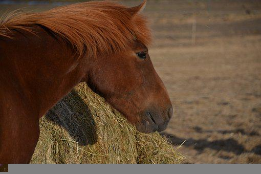 Pony, Small Horse, Brown Pony, Horse Mane, Animal