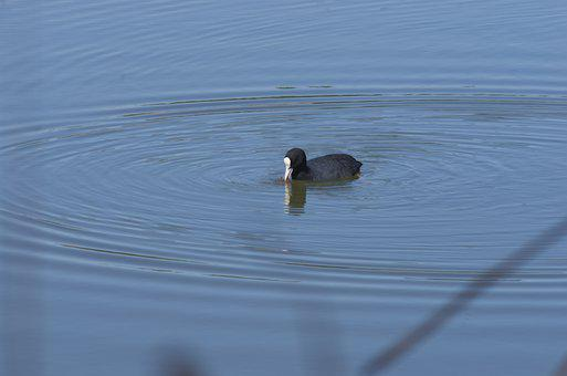 Duck, Lake, Ripple, Water, Eurasian Coot, Common Coot