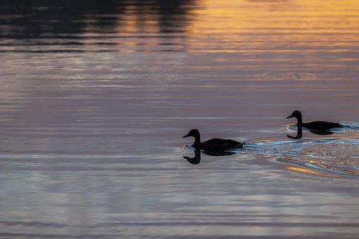 Ducks, Silhouette, Lake, Swimming, Waterfowl