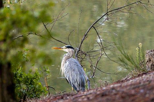 Heron, Bird, Perched, Plumage, Fish-eating Bird