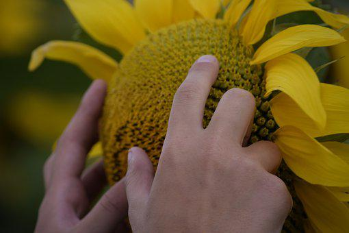 Sunflower, Hands, Flower, Yellow Flower, Bloom, Blossom