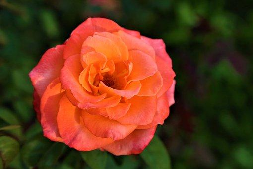 Peony, Orange Peony, Flower, Orange Flower