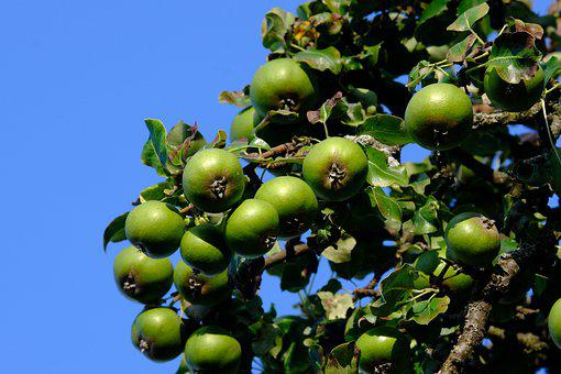 Pears, Wild Pear, Fruits, Green Fruits, Branch