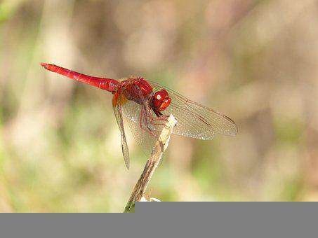 Dragonfly, Red Dragonfly, Insect