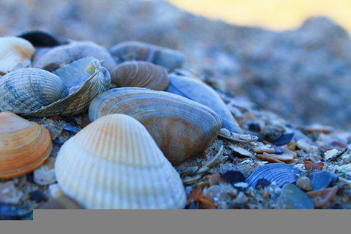 Seashells, Shells, Seashore, Coast, Seaside, Mollusks