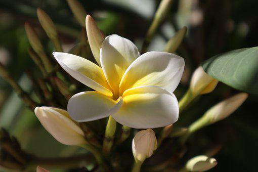 Frangipani, Flower, Nature, Flowering Tree