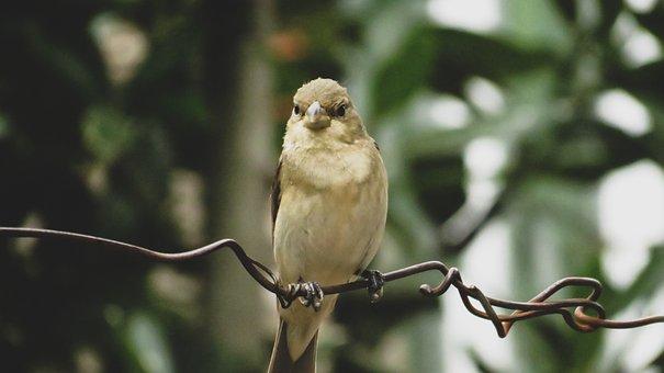 Pale Rockfinch, Pale Rock Sparrow, Nature