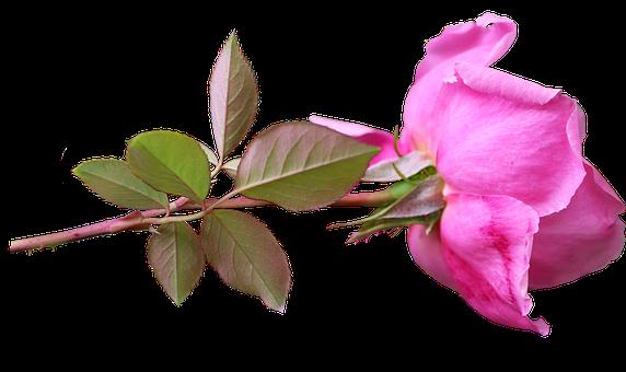 Pink Rose, Rose, Flower, Pink Flower, Stem, Plant