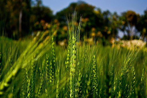 Cereal, Crop, Field, Green Wheat, Wheat Mealie, Plans