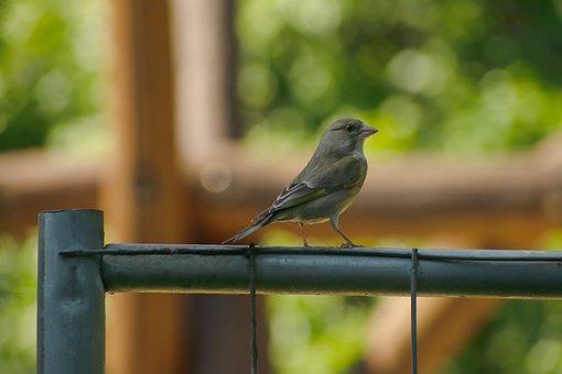 Bird, Sparrow, Feathers, Beak, Plumage, Fence, Avian