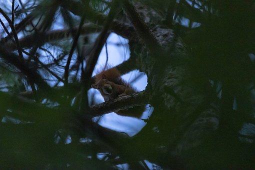 Squirrel, Red Squirrel, Tree Squirrel