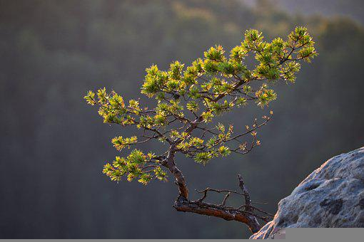 Pine, Tree, Branch, Rock, Needles, Stone, Sandstone