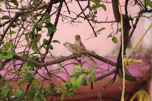 Saxaul Sparrow, Birds, Nature, Passerine Birds