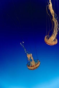 Jellyfish, Sea Jellies, Marine Animal, Sea Animal