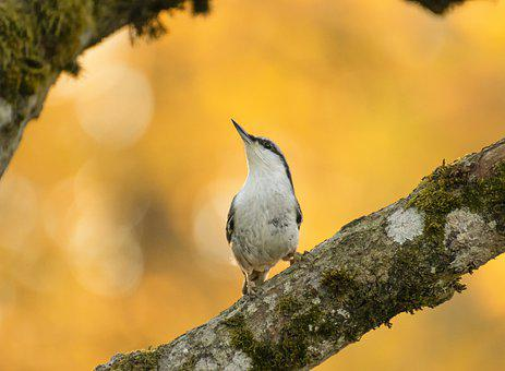 Nuthatch, Perched, Small Bird, Tree, Branch, Looking Up