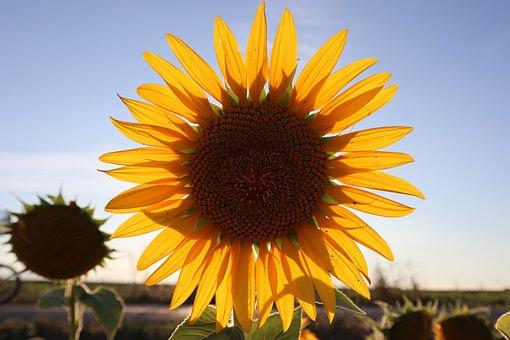 Sunflower, Yellow Flower, Flower, Petals