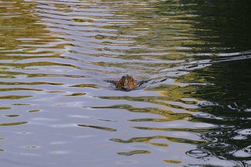 Duck, Mallard, Lake, Water, Waterfowl, Water Bird
