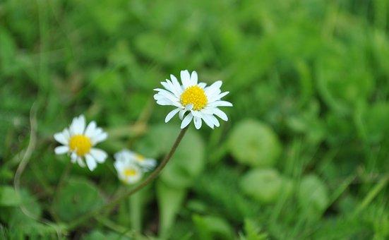 Daisy, White Daisy, Flowers, White Flowers