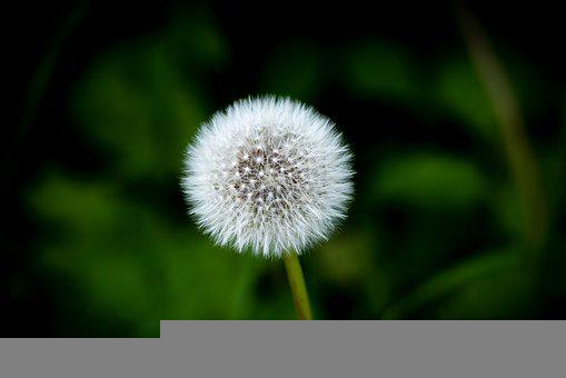 Dandelion, Red-seeded Dandelion, White Flower, Seeds