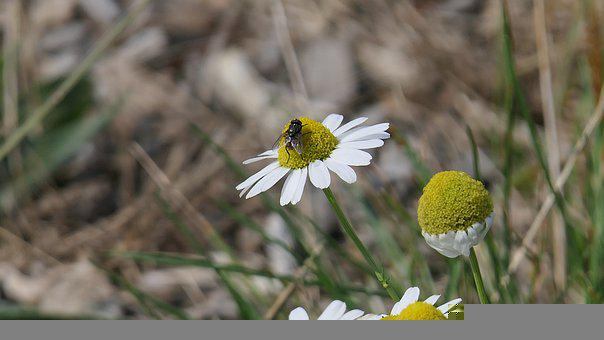 Fly, Insect, Flowers, White Flowers, Petals, Bloom