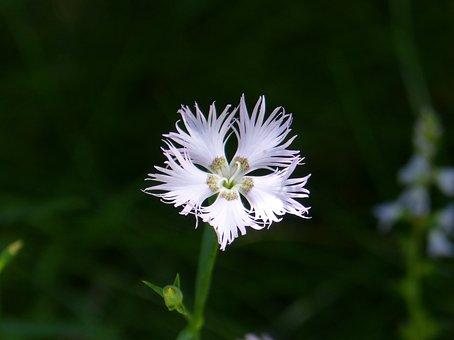 Carnation, Wild Carnation, Flower, White Flower