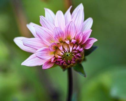 Flower, Aster Des Alpes, Alpine Aster, Blooming