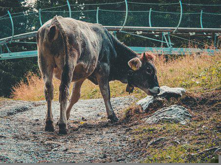 Cow, Calf, Mammal, Dairy, Mountains, Alps, Animal
