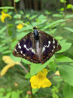 Butterfly, Great Purple Emperor, Apatura Iris