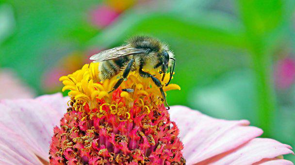 Pollination, Bumblebee, Flower, Insect, Pollinator, Bee