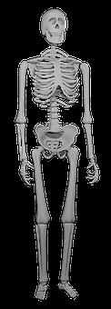 Skeleton, Bones, Skeletal, Skeletal System, Biology