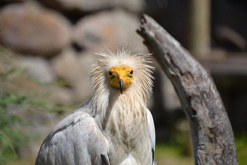 Egyptian Vulture, Vulture, Bird, Animal, Wild Animal