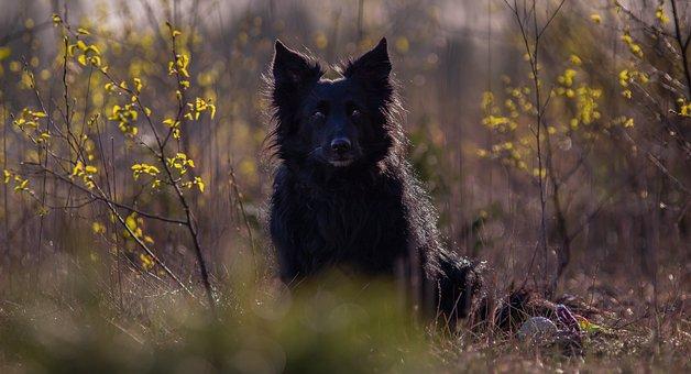 Border Collie, Dog, Black Dog, Black Border Collie