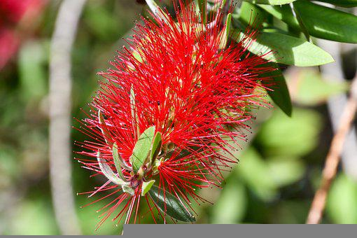 Crimson Bottlebrush, Flower, Callistemon Citrinus