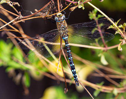 Dragonfly, Emperor Dragonfly, Insect, Blue Emperor