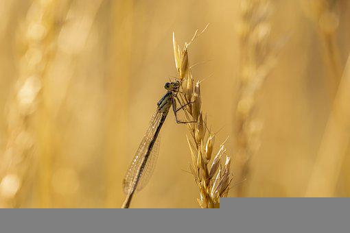 Eurasian Bluets, Damselfly, Insect, Coenagrion, Nature