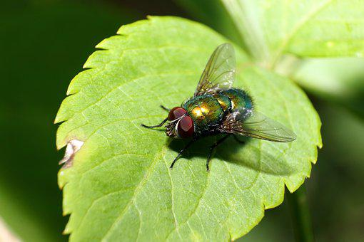 Fly, Insect, Bug, Leaves, Fly On A Leaf, Entomology