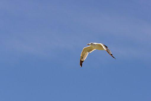 Seagull, Gull, Flight, Flying, Bird, Seabird, Animal