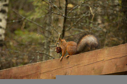 Squirrel, Rodent, Forest, Animal, Small Animal