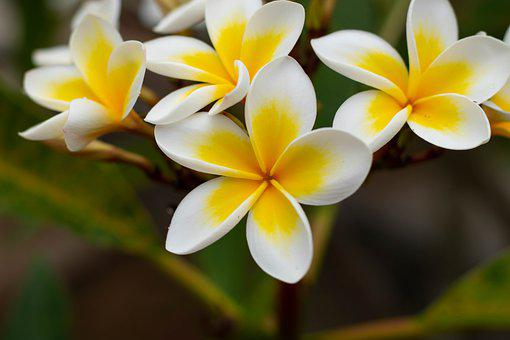 Frangipani, Flowers, Temple Flowers, Temple Tree, Bloom