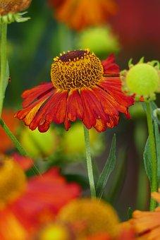 Coneflower, Flower, Garden, Flowering Plant