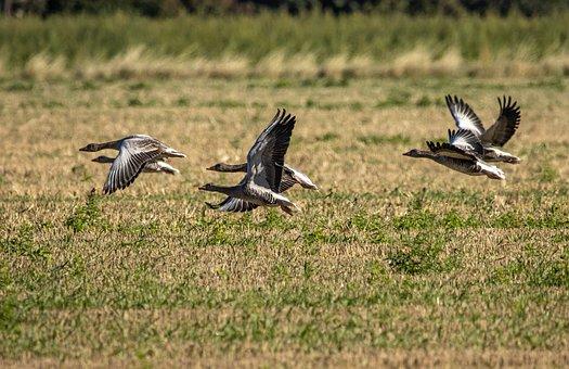 Geese, Birds, Flight, Flying, Skein, Team