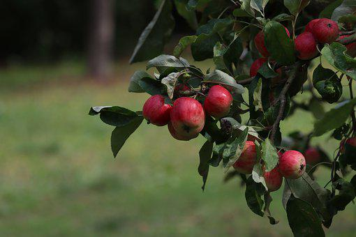 Apples, Fruits, Apple Tree, Harvest, Produce, Organic