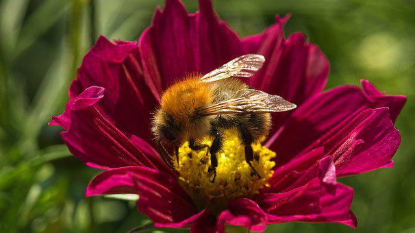 Pollination, Bee, Flower, Insect, Pollinator, Bumblebee