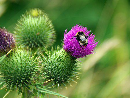 Bourdon, Thistle, Insect, Flower, Plant, Foraging
