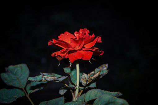 Rose, Flower, Red Rose, Red Flower, Red Petals, Leaves